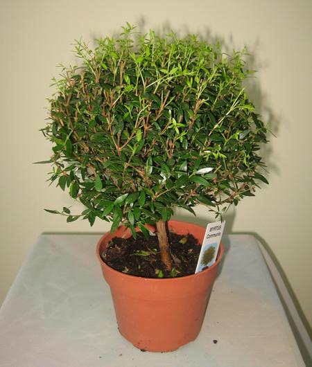 Мирт - Кустарники и деревья (комнатые) - Комнатные цветы и ...: http://cveti.ucoz.ua/publ/92-1-0-65
