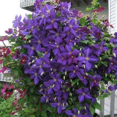 Вьющиеся цветы для сада - клематис.