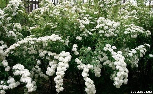 посадка спиреи белой весной
