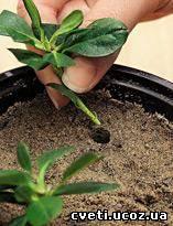 Как размножать азалией в домашних условиях 927