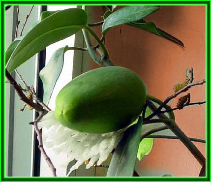 Плод стефанотиса
