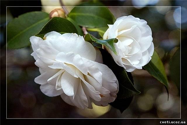 Камелия camellia Камелия Комна�н�е �ве�� и �а��ения