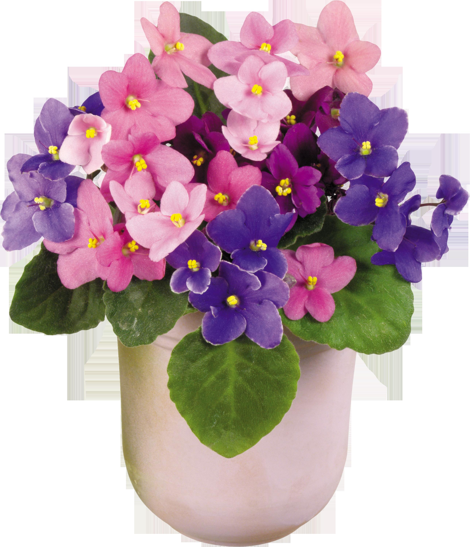 Комнатный цветок розовые цветы фото