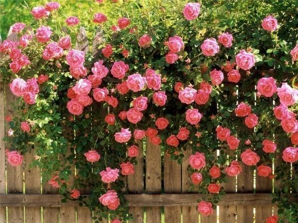 Розы произвело революцию эти розы по