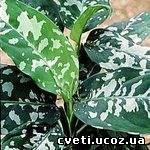 Аглаонема расписная Aglaonema pictum