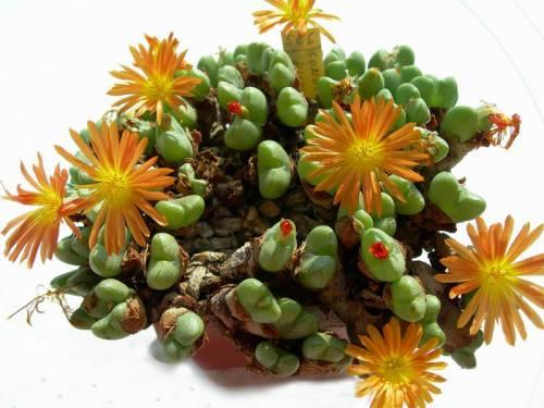 Живые камни цветы цена 31