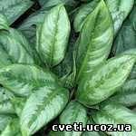 Аглаонема кудрявая Aglaonema crispum