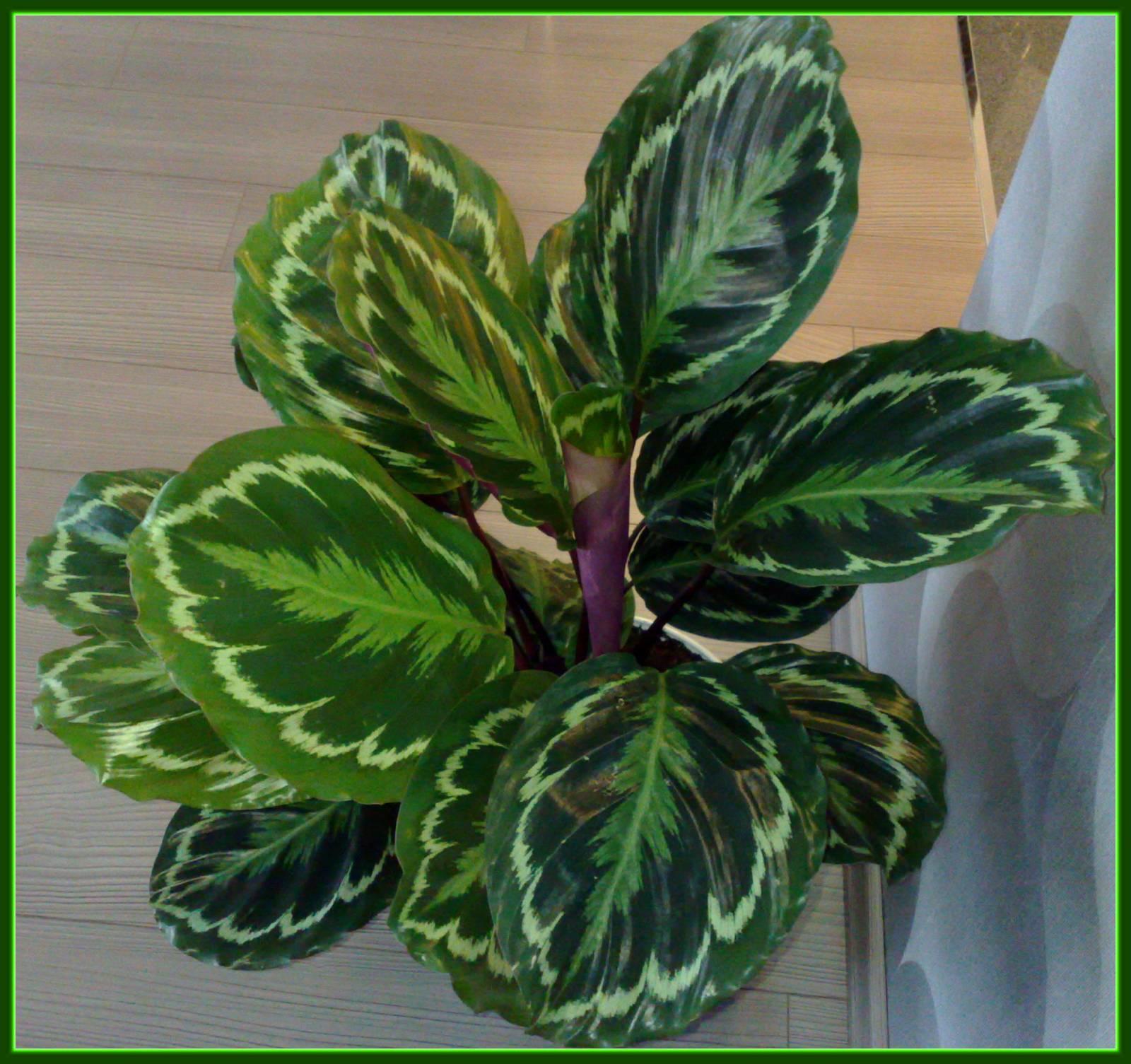 Фото домашних цветов с названиями с толстыми листьями